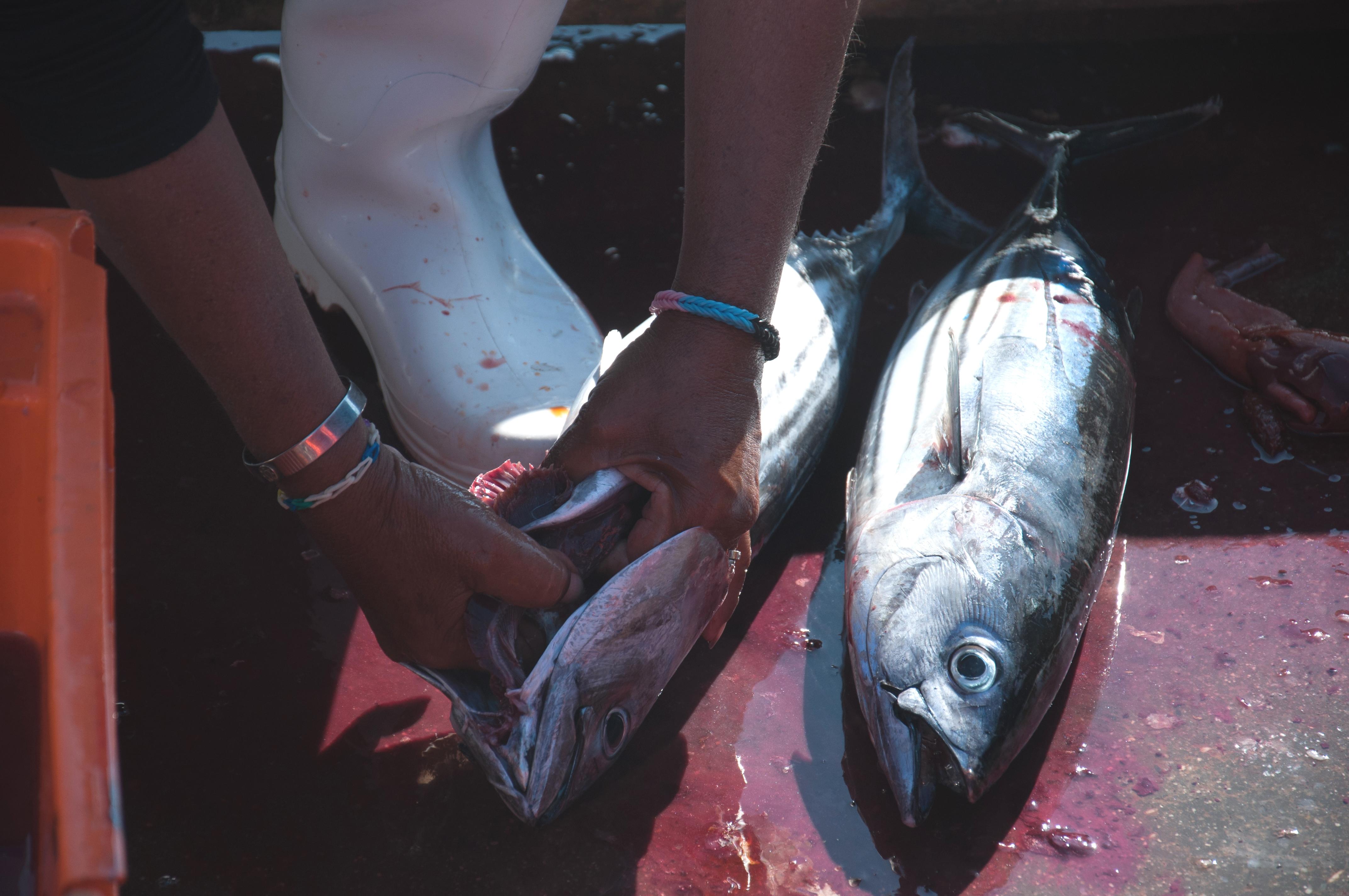 Ausnehmen der Fische